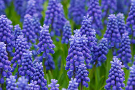 BlueGrapeHyacinth