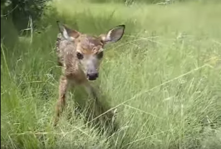 baby-fawn